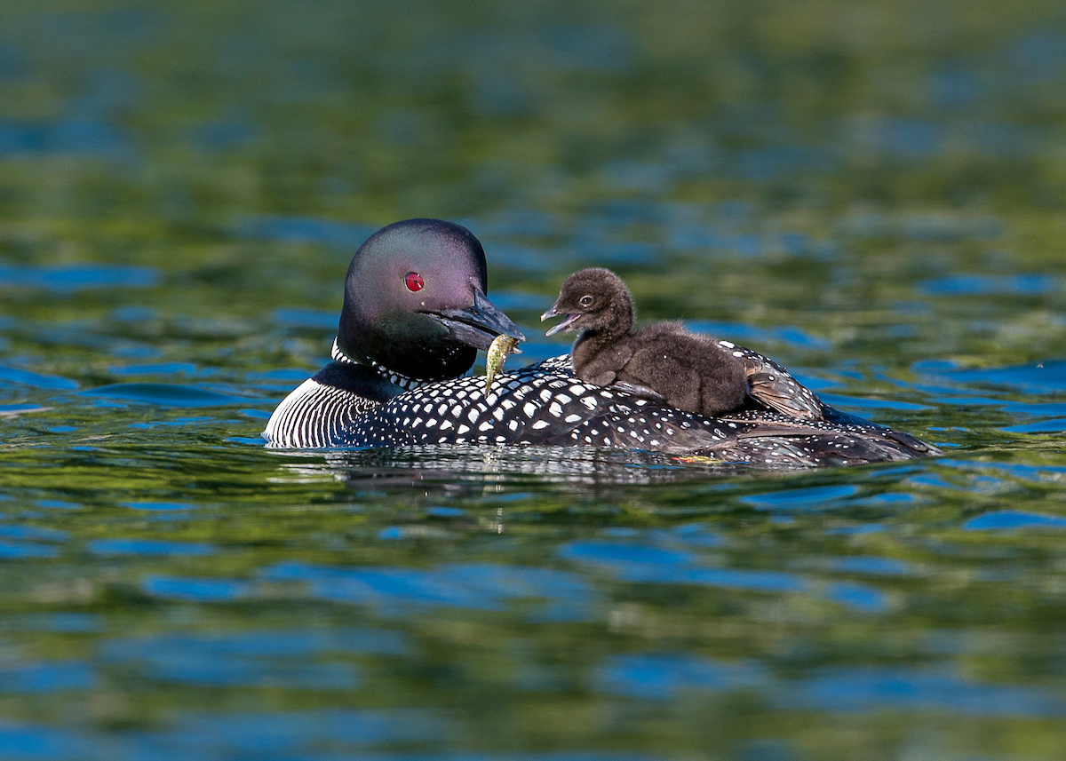 Mother loon with chick